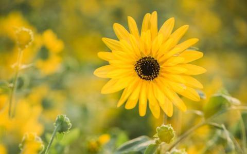 盛开的向日葵
