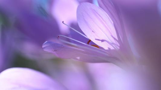 美丽的秋水仙