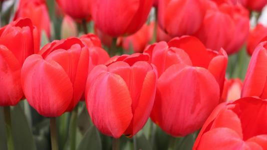 娇媚的红色郁金香花卉
