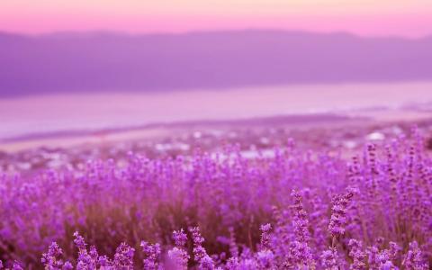 紫色薰衣草浪漫唯美花海