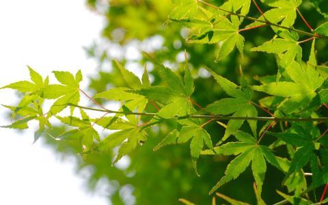小清新绿色护眼枫叶意境