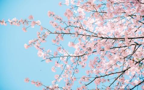 浪漫的樱花美景
