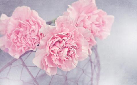 绚丽娇艳的康乃馨
