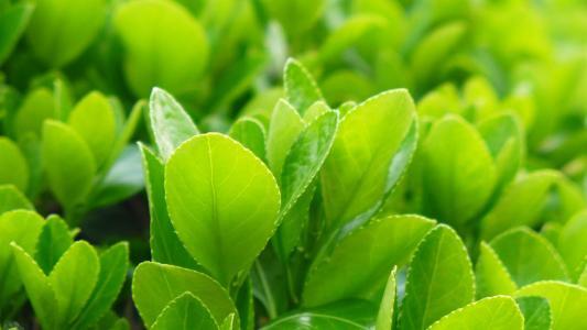 小清新绿色嫩叶护眼植物